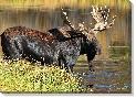 Vic Schendel Fall - Bull Moose