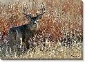 Vic Schendel High Grass Buck