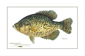 Flick Ford Black Crappie Signed Open Edition Giclee on Paper