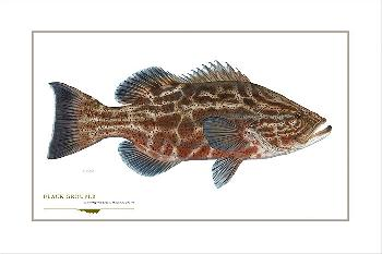 Flick Ford Black Grouper Signed Open Edition Giclee on Paper