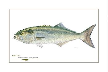 Flick Ford Bluefish Signed Open Edition Giclee on Paper