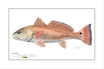 Flick Ford Redfish Signed Open Edition Giclee on Paper