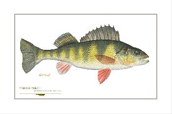 Flick Ford Yellow Perch Signed Open Edition Giclee on Paper