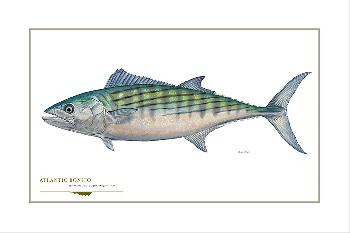 Flick Ford Atlantic Bonito Signed Open Edition Giclee on Paper