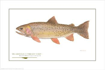 Flick Ford Yellowstone Cutthroat Signed Open Edition Giclee on Paper