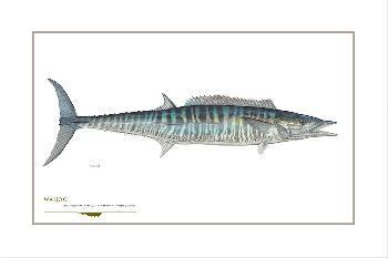 Flick Ford Wahoo Mackerel Signed Open Edition Giclee on Paper