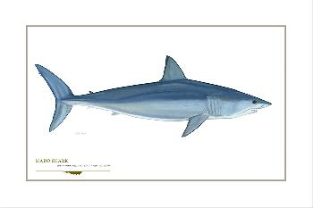 Flick Ford Shortfin Mako Shark Signed Open Edition Giclee on Paper