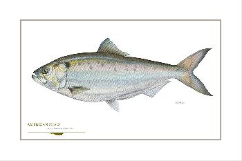 Flick Ford American Shad Signed Open Edition Giclee on Paper