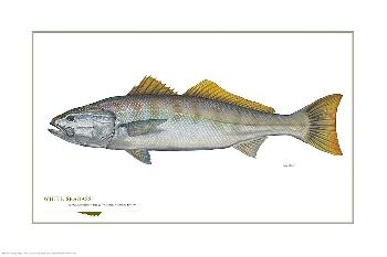 Flick Ford White Seabass Open Edition on Paper
