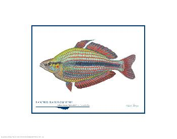 Flick Ford Banded Rainbow Fish Open Edition on Paper