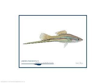 Flick Ford Green Swordtail Open Edition on Paper