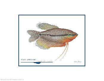 Flick Ford Pearl Gourami Open Edition on Paper