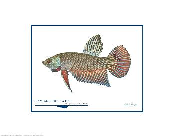 Flick Ford Siamese Fighting Fish Open Edition on Paper