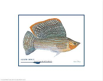 Flick Ford Sailfin Molly Open Edition on Paper