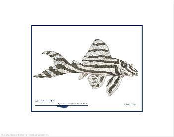 Flick Ford Zebra Pleco Open Edition on Paper