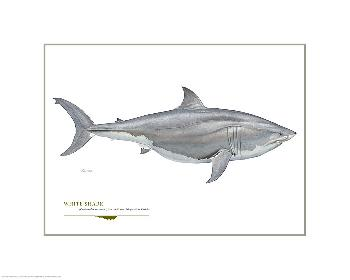 Flick Ford Great White Shark Open Giclee Edition on Paper