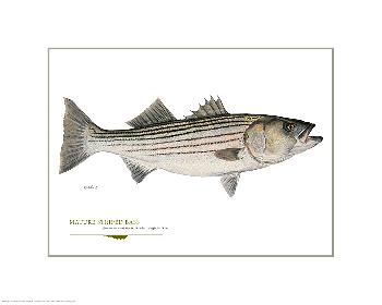 Flick Ford Matured Striped Bass Open Giclee Edition on Paper
