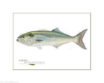 Flick Ford Bluefish Open Giclee Edition on Paper