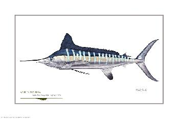 Flick Ford White Marlin Signed Open Edition Giclee on Paper