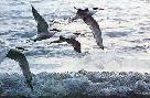 Ron Parker Above Waves Terns