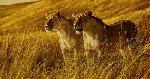 Robert Bateman African Amber Lioness Pair