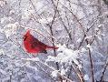 Marc Hanson After the Storm - Northern Cardinal