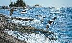 Ron Van Gilder Along the Coast - Buffleheads