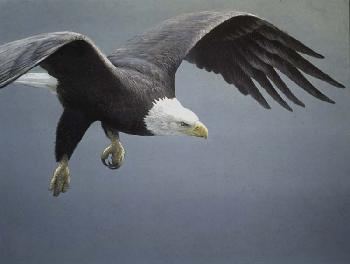 Robert Bateman Approach Bald Eagle Original Lithograph