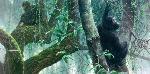 Robert Bateman At Mahale Chimpanzees