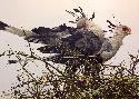 Robert Bateman At the Nest Secretary Birds