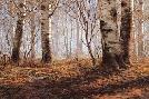 David Maass Autumn Birch Woodcock
