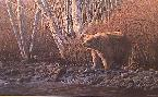 Ron Parker Autumn Morning - Grizzly