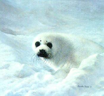 Charles Frace Baby Harp Seal