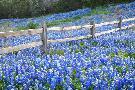 Rob Greebon Bluebonnet Fence Near Llano, Texas