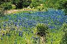 Arthur Rawlings Bluebonnets & Yucca