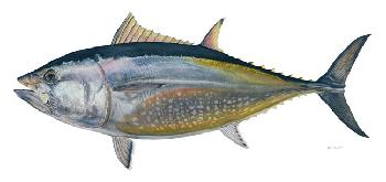 Flick Ford Bluefin Tuna Signed Open Edition Giclee on Paper