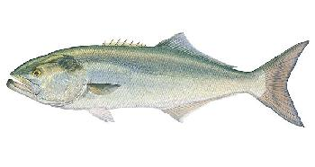 Flick Ford Bluefish Giclee on Canvas