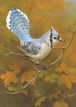 Owen Gromme Blue Jay