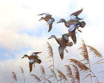 Owen Gromme Blue Wing Teal Artist
