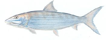 Flick Ford Bonefish Signed Open Edition Giclee on Paper