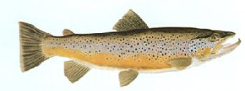 Flick Ford Brown Trout Signed Open Edition Giclee on Paper