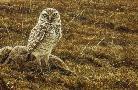 Robert Bateman Burrowing Owl