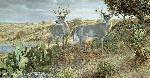 Ron Van Gilder Cactus Country - Whitetail Deer