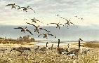 Maynard Reece Canada Geese - Coming In