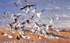 Michael Sieve Canadian Gold - Snow Geese