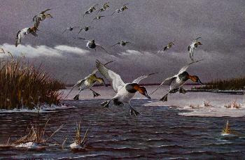 Owen Gromme Canvasbacks Coming in Before Freeze-Up Signed Open Edition on Paper