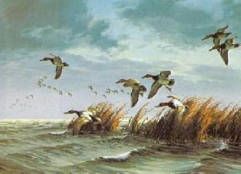 David Maass Canvasbacks In Autumn