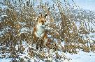 Michael Sieve Cattail Swamp - Red Fox