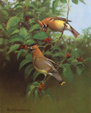 Owen Gromme Cedar Waxwings and Mulberries