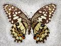 Richard Reynolds Checkered Swallowtail